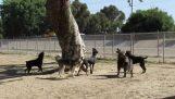 Σκίουρος εναντίον σκύλων