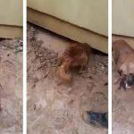 Σκύλος σώζει κουτάβι από πνιγμό