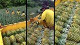 Η συγκομιδή του ανανά