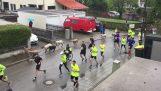 Τα πρόβατα αρχίζουν να τρέχουν μαζί με τους δρομείς