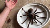 Η αράχνη Γολιάθ