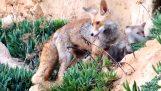 Αλεπού οδηγεί έναν άνθρωπο στα μικρά της