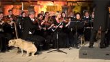 Stray dog ​​approaches an orchestra and relaxing music