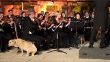 Αδέσποτος σκύλος πλησιάζει μια ορχήστρα και χαλαρώνει με τη μουσική