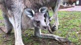 Küçük bir kanguru ilk atlar yapmak
