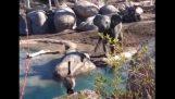 Слон проти гусака