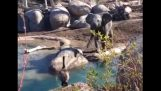 Elephant vs. oie