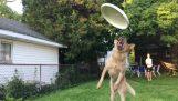 Perro tratando de coger un disco volador ((Humor))