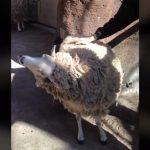 Ένα πρόβατο απαιτεί χάδια