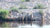 20 λιοντάρια πίνουν μαζί νερό στο ποτάμι