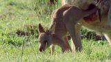 Kangaroo baby grows in Mommy's bag