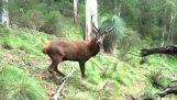 El rugido de un ciervo