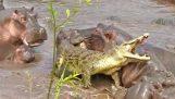 30 ιπποπόταμοι επιτίθενται σε ένα κροκόδειλο