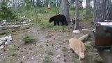 Cat attacking bear