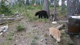 Γάτα επιτίθεται σε αρκούδα