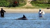 Дельфины помогают рыбакам