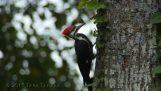 Τρυποκάρυδος κάνει φωλιά σε ένα δέντρο