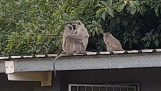 Un singe mère regagne sa petite