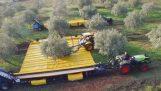 Жътва маслини с най-новите технологии