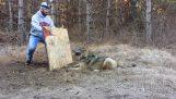 Άνδρας απελευθερώνει λύκο από παγίδα