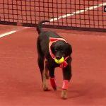 Σκύλοι αντικαθιστούν τα ball boys