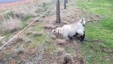 Goat against the electric fence