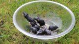 Ποντικοπαγίδα με ένα μπολ και φυστικέλαιο