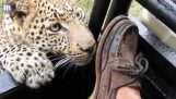 Close encounter with a young leopard
