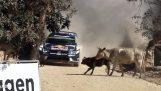 Οδηγός Ράλι αποφεύγει για λίγο τις αγελάδες