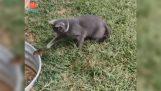 Ο σκίουρος κορόιδεψε τη γάτα