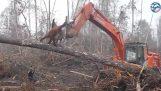 Orangutan атаки бульдозер