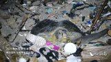 Θαλάσσια χελώνα προσπαθεί να γεννήσει σε μια παραλία γεμάτη από σκουπίδια