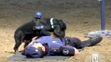 Police dog doing CPR on colleague