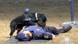 पुलिस कुत्ते सहयोगी पर सीपीआर कर