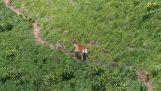Deer лова на вълци (Русия)