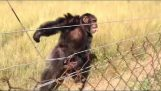 Reaction of a chimpanzee when hearing a Hang