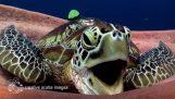 A very sleepy turtle