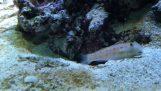 Αστερίας προσπαθεί να κλέψει τη φωλιά ενός ψαριού
