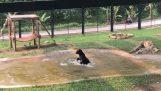 Μια αρκούδα διασκεδάζει στο νερό μετά από χρόνια ζωής σε ένα κλουβί