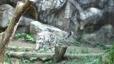 Imponujące akrobatycznych Leopard