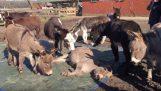 Οι γάιδαροι θρηνούν τον θάνατο του φίλου τους