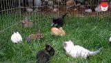 Kocięta i zające, gra się na trawie