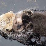 Η μαμά βίδρα κολυμπά με το μωρό στην αγκαλιά της