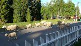 Τα πρόβατα πήραν λάθος δρόμο