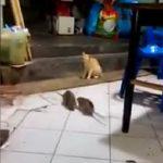 Γάτα παρακολουθεί τον καβγά δύο μεγάλων αρουραίων