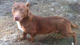 Pit bull kříže s ntaschoynt: Nejbizarnější pes