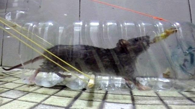 Trappola per topi con una bottiglia di plastica - Come uccidere i topi in casa ...