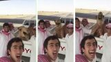 Camel zomrel v smiech