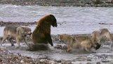 หมีเจอหมาป่า