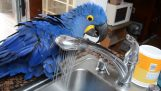 The Parrot makes a shower